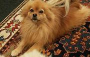 Pomeranian Rüde