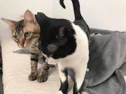 Susu Indie verschmustes Katzenpaar ca