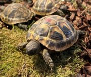 Süße kleine griechische Landschildkröten Schlupf