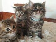 Reinrassige Sibirische Katzen Kitten mit