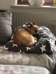 Chihuahua Rüde 1 Jahr mit