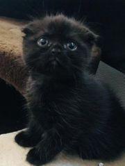 Scottish Fold Kater Kitten Bkh