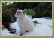 Neva Masquarade Sibirische Katzen Kittenmit
