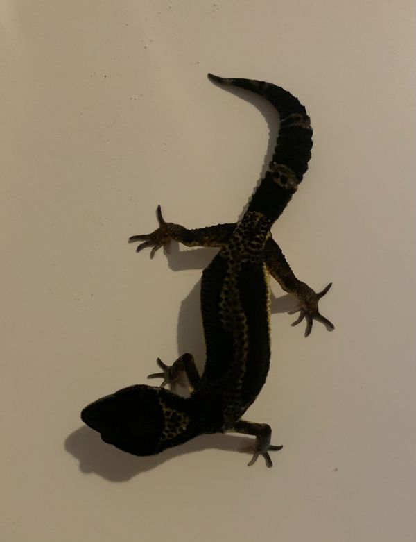 Leopardgecko Black Night Lemon Frost 0. 1.