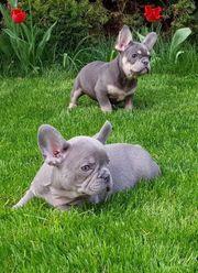 französische Bulldogge Welpen Blue Blue