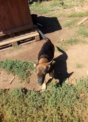 Kleines süßes Schäferhund-Mischlings Welpen Mädel
