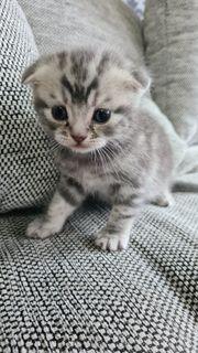 scottish fold Britischkurzhaar kitte BKH