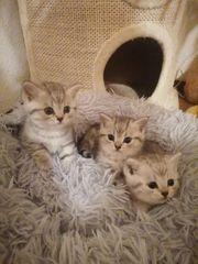 BKH Silver Tabby Kitten