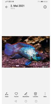 Blaupunktbuntbarsch - Andinoacara pulcher Neon Blue