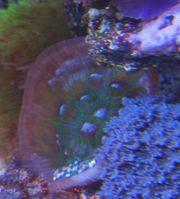 chalice Meerwasser Korallen sps lps
