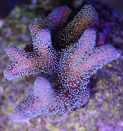 Meerwasser Korallen Seriatopora caliendrum - Nadelkoralle