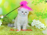 Wunderschöne BKH Junge weiße Kitten