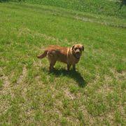 Labrador Foxred Hündin 17 Monate