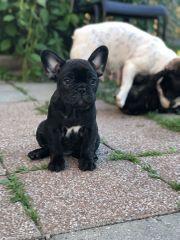 Französischen Bulldogge Welpen verfügbar