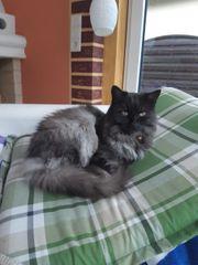 Katze in Götzis vermisst