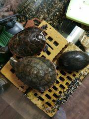 3 Schildkröten abzugeben