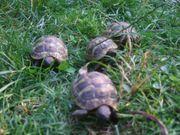 Griechische Landschildkröten Thb - Nachzuchten 2020
