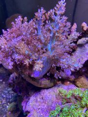 Koralle Keniabäumchen Capnella imbricata Meerwasser
