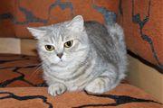 BKH Britische Kurzhaar Katze Whiskas