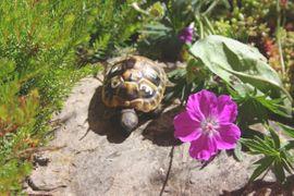 schöne rundgewachsene griechische Landschildkröten ab: Kleinanzeigen aus Bad Rappenau - Rubrik Reptilien, Terraristik