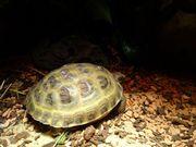 Vier zehen landschildkröte sie ist