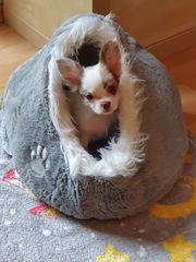 Nur noch 1 verschmuster Chihuahua