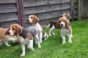 süße beagle welpen sind jetzt