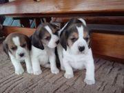 Beagle Welpen noch ein Rüde