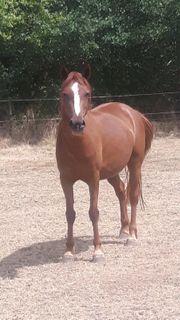 Welsh pony stute 138 cm
