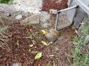 Griechische Landschildkröten aus Hobbyzucht