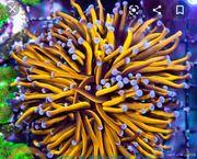 Suche Meerwasser Golden Torch Koralle