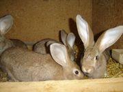 junge kaninchen riesen