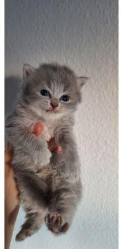 BKH BLH Kitten Papa mit