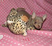 Chihuahua welpen in Lilac tan