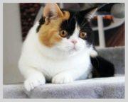 BKH Britishkurthaar Kitten
