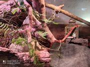 0 2 pantherophis guttatus Kornnatter