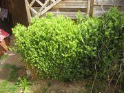 Buchsbaumpflanzen zw 50 und 100