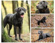Labrador charcoal als Deckrüde kein