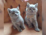 BKH Katzen in Blau mit