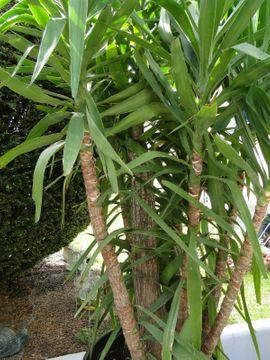 Pflanzen - Yucca Palme - für Liebhaber - Hammerpreis -