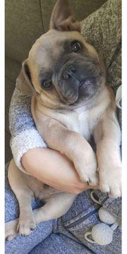 Franzosische Bulldogge Hunde Kaufen Verkaufen Auf Quoka De