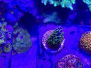 Acropora abrotanoides - Meerwasser Koralle SPS