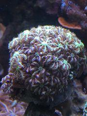 Korallen Ableger div