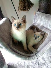 Wunderschöne Thai siam kätzchen blue