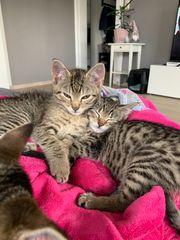 Katzenbaby Kitten