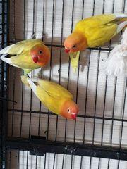 3 schöne Pfirsichköpfchen Männchen zuverkaufen