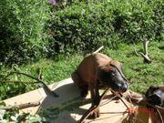 Bayerischer Gebirgsschweißhund BGS Welpen