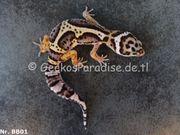 Leopardgecko 2020 ink auf Männchen