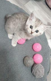 BKH Kitten Silver-tabby-spotted