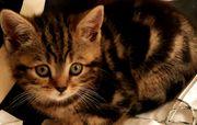 BKH Kitten wunderschön